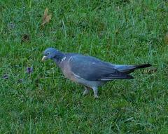 Pigeon***********