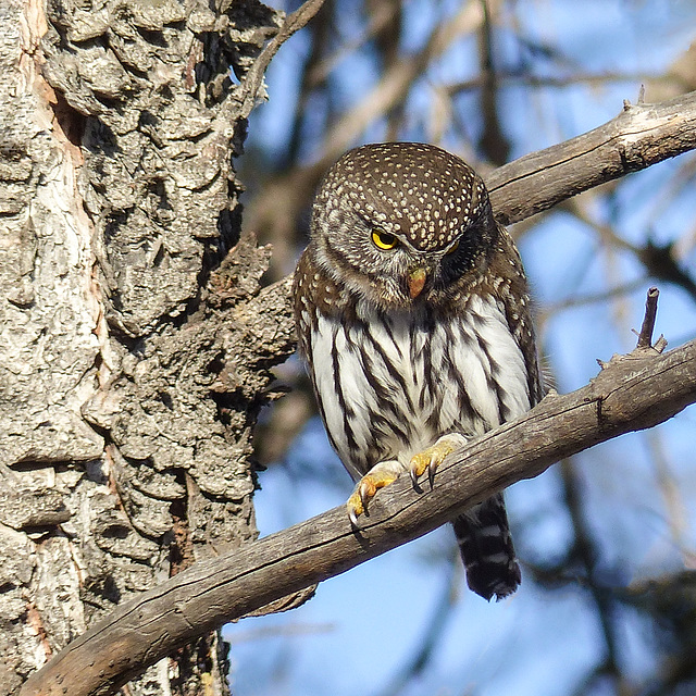 Northern Pygmy-owl from January