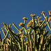 Pencil Plant Flowers (2699)