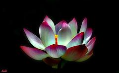 Lotus/2