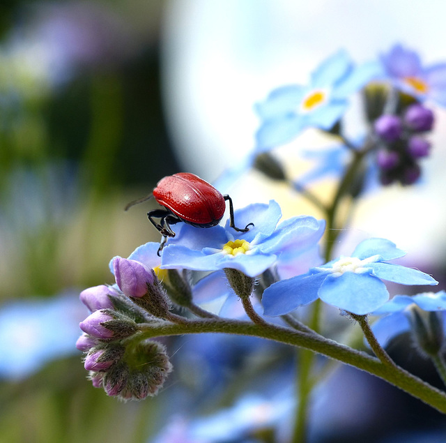 Beetle Bum
