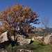 Oak in autumn. Bosque de La Herrería.