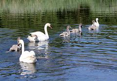 Familie Schwan macht einen Ausflug