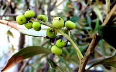 Oliven Früchte nördlich der Alpen... ©UdoSm