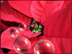 Weihnachtsstern.  (Euphorbia pulcherrima) ©UdoSm