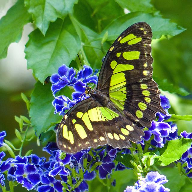 Malachite butterfly on blue