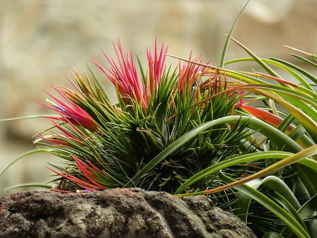 Tropical - cultivar of Tillandsia ionantha?