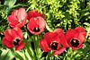 Tulpen (PiP)