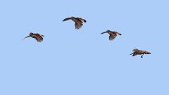 Parachute de Gorgebleue (baie de Somme)