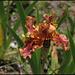 Iris Crimson Tiger