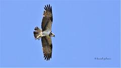 Balbuzard pêcheur - Pandion haliaetus - Western Osprey