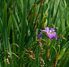 Solitary Iris, atop the cliff