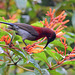 20170803-0662 Vigors's sunbird, male