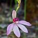 Caladenia ornata