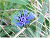 Promenade 14 Avril 2020: le bleuet ou centaurée
