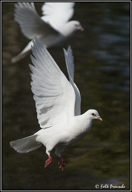 Weiße Tauben im Park Maria Luisa