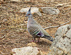Colombe lophote - Crested pigeon