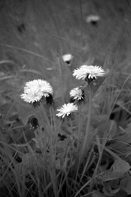 Year's first infrared: Dandelions