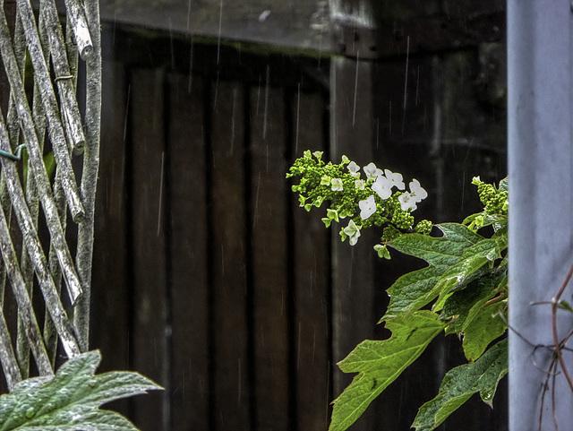 Hydrangea flowering in the rain for HFF