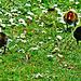 Little Eurasian Coot Chicks