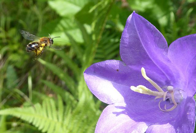 Anflug zum Blütenkelch