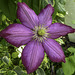 Clematis in the Crab Apple tree