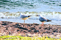 Gulls at Lake Taupo.