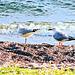 Gulls at Lake Taupo.