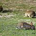 Les lapins de Deauville