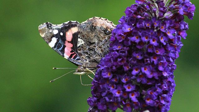 Accro au nectar
