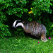 IMG 4978 - Badger in my garden