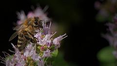 Biene auf Majoran-Blüte