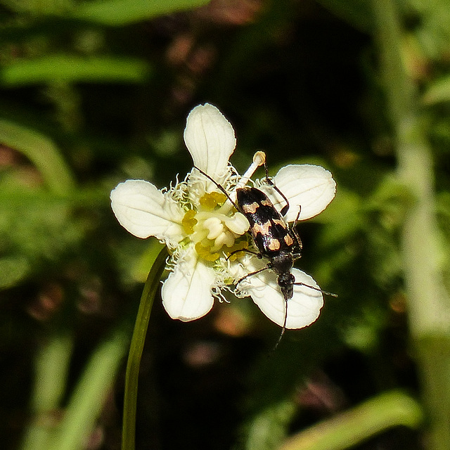 Beetle on Fringed Grass-of-Parnassus