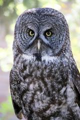 Great Gray Owl (Explored)