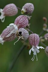 Silene vulgaris (3)