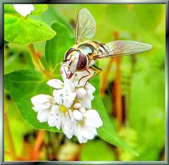 Wiesenblume mit Schwebfliege. ©UdoSm
