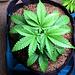 Humboldt Tri-Leaf 05