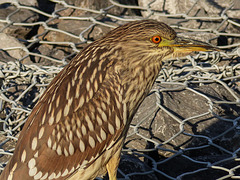 Black-crowned Night Heron juvenile / Nycticorax nycticorax