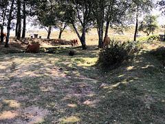 Here he is, alone with his herd of 9 cows, the Cão de Castro Laboreiro