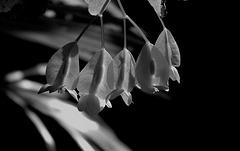 IMG 6475- Fleurs de Bégonia bambou , Begonia maculata