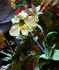 Orchidea sabotek
