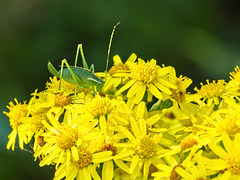 Speckled Bush Cricket on Ragwort
