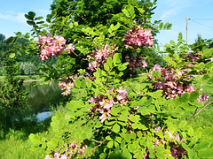 Borstenrobinie - Robinia hispida Macrophylia