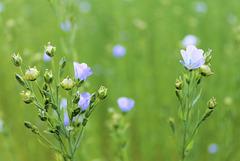 splendides fleurs de lin, dans un champ tout bleu