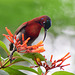 20170803-0696 Vigors's sunbird, male