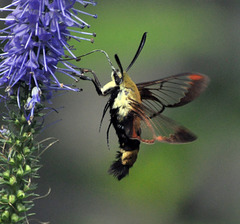 humming bird moth x CSC 1662