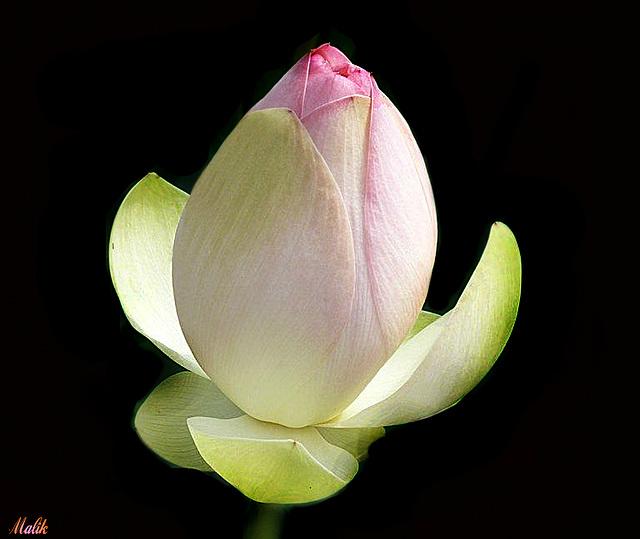 Bouton-Lotus