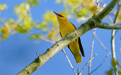 Loriot d'Europe - Eurasian Golden Oriole