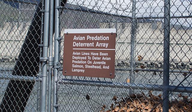 John Day dam avian predation (#0346)