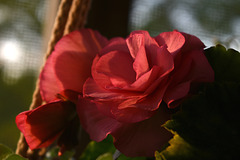 The Begonia on my Porch